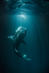 11-fisherman-light-attracts-whale-sharks-670